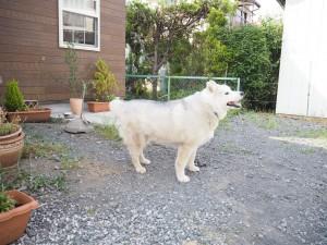 看板犬のシベリアンハスキー・かわいいです 大人しくて安心して近づけます
